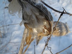 50 Degrees In February, So I'm Going For A Walk 057 (Momma Gadz) Tags: winter snow nature seedpods