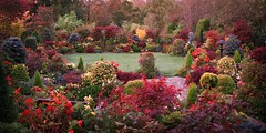 Autumn Garden Red October Dawn (Four Seasons Garden) Tags: uk morning flowers blue autumn red england plants west flower colour green english fall nature beautiful leaves yellow marie stone gardens garden four maple october topiary day all colours azaleas open seasons mail picture peaceful competition daily tony foliage national fourseasons acer winner yew urbangarden staffordshire newton conifers begonias tapestry walsall englishgarden midlands conifer ilex flowergarden dailymail blackcountry ngs nationalgardenscheme yorkstone acers senkaki fourseasonsgarden pelergoniums charityopendays