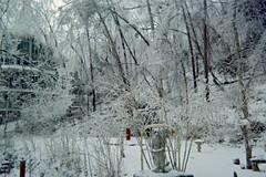 Pine trees leaning in woods behind our house (junebug_1944) Tags: icestorm eurekaspringsar january2009