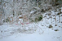 My poor flamingoes! (junebug_1944) Tags: icestorm eurekaspringsar january2009
