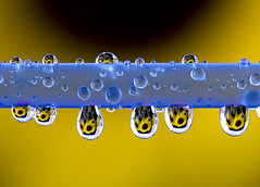Sunflower tears (Nicole Pearce) Tags: water nikon tears drop sunflower refraction d3 worldsbestnikonshots