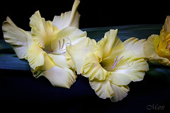 Pollen Frosting on Yellow Gladiolas (FLPhotonut) Tags: flowers lightpainting yellow florida awesome blossoms distillery gladiolas onblack canon350xt macromania bej perfectpetals betterthangood buttergarden photographersgonewild simplythebest~flowers flickrflorescloseupmacros dragonflyawards flphotonut mastersofmacromania