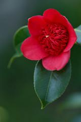 Cardinal's Cap (ROQUE141) Tags: camelia camellia tsubaki cardinalscap laflormasbella mywinners colorphotoaward