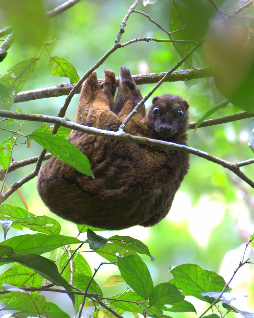 Flying lemur avatar - photo#15