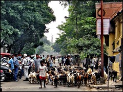 Typical Indian Street Scene (Grete Howard) Tags: people india streets cars asia streetscene goats herd goatherd kolkata washing calcutta policeman