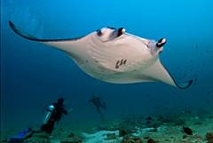 mantadvrs2014pcw (gerb) Tags: ocean blue sea topf25 water beautiful topv111 1025fav 510fav wow nice topv555 topv333 underwater topv1111 topv999 scuba fv5 pi wildanimal 1224mmf4g topv777 diver d200 maldives manta aquatica 50fav tvx abigfave orcadivers sunkentreasureaward herowinner