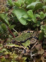 Groene kikker (arie.eliens) Tags: green groen frog kikker allphotoswanted
