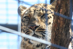 Leopard (mank999) Tags: bear zoo swan buffalo tiger lion moose polarbear zebra kansas cheetah bison rollinghills animatronics salina rollinghillszoo