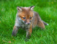 It's someone's Birthday you say...:O) (law_keven) Tags: england baby green grass animal animals cub furry wildlife surrey fox furryfriday redfox vulpesvulpes carnivora foxcub canid explore500 britishwildlifecentre abigfave theunforgettablepictures theperfectphotographer goldstaraward