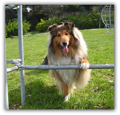 Happy Feet (Hermio-Black) Tags: park friends dog chien beach dogs nature cane collie candy lassie collies cani mywinners goldstaraward