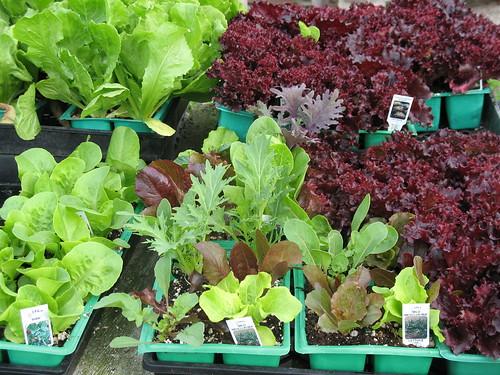red or green leaf lettuce
