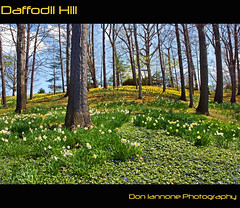 Daffodil Hill (Don Iannone) Tags: flowers ohio spring flickr poem god magic cleveland bluesky divine explore daffodilhill frontpage daffodils springtime wmp greengrass lakeviewcemetery imagepoetry april2009 doniannone pictureandapoem nikond80camera doniannonephotography naturesbeauty