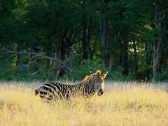 Sunlight Zebra