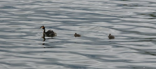 Ducks in Ioannina Lake