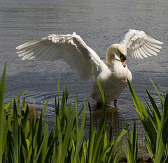 Same swan....the next pose. (pixiepic's) Tags: platinumheartaward
