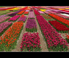 Tulip Test Pattern (JLMphoto) Tags: holland netherlands colors blossoms explore tulip fields testpattern northholland colorphotoaward jlmphoto
