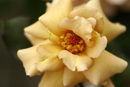 Rose-julia
