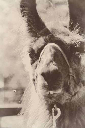 Llama with fly
