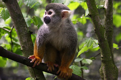 Common Squirrel Monkey (Ian Lambert) Tags: brazil tree southamerica rain animal forest ecuador amazon colombia bolivia guyana jungle tropical tropics squirrelmonkey saimirisciureus frenchguiana specanimal perusuriname