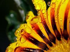 ...after the rain... (zio paperino) Tags: flower nature rain yellow geotagged lumix drops natura panasonic explore gazania frontpage ziopaperino mygearandme mygearandmepremium mygearandmesilver mygearandmegold