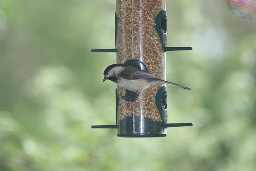 snacking chickadee