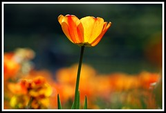 Standing out from the crowd (Levels Nature) Tags: flowers orange flower colour nature beautiful kent bokeh tulip tonbridge lovely infinestyle saariysqualitypictures