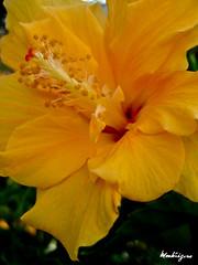 Hibiscus (monteregina) Tags: flowers plants canada macro yellow closeup fleurs jaune spring flora details blumen center stamens hibiscus québec tropical pollen plantae printemps plantes flore onblack pistils frúhling fillframe monteregina sumpfeibisch largespétales widepetals