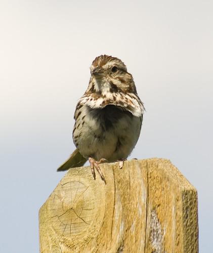 song sparrow_1