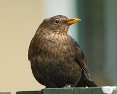 Blackbird Portrait (vanstaffs) Tags: bird female turdusmerula blackbird koltrast