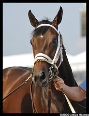 Payton D'Oro (Spruceton Spook) Tags: horses baltimore preakness horseracing blackeyedsusan pimlico larryjones blackeyedsusanday paytondoro