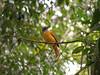 Attila rufus (Techuser) Tags: bird nature animal attila piedade fbwnewbird fbwadded canons5is capitãodesaíra grayhoodedattila attilarufus