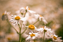 effects of courtesy, dues of gratitude (harold.lloyd) Tags: flowers white green yellow thanks bokeh many bikini monday ever thebest gettyimages 50mmf14 friedeggs fulvio whichgod therearesomany withthanks hanstand betterthanthebest mondaisy daisery sogladsfwdidtherightthing thebesterest