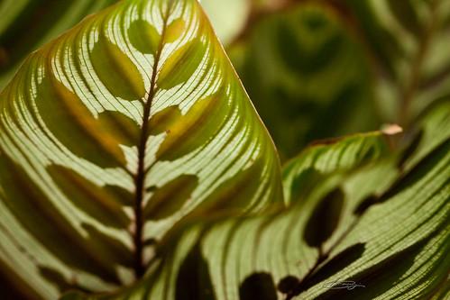 葉っぱの中に葉っぱ。。。の葉脈