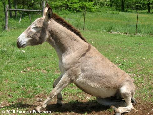 Donkey Rolls 5