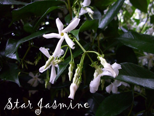 Star Jasmine Blooming
