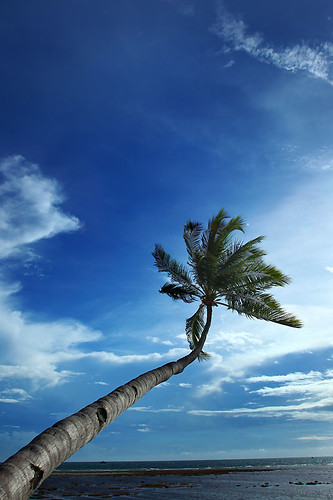 IMG_3070-w Coconut Tree