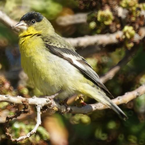 Lesser Goldfinch (western variety)