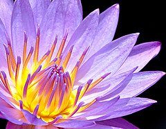 Sending Her My Love (DigitalLUX) Tags: naturaleza flower love nature beautiful yellow petals flora waterlily purple amor flor amarillo waterlilies bella hermosa violeta prpura nenfar nenfares waterplant ptalos plantaacutica rubyphotographer