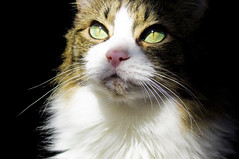 {I took one last good look around} ({Die Flake und die Blumen}) Tags: shadow color reflection green animals contrast cat feline whiskers attitude crisp mainecoon mysterious imposing bold observing egypcian watchful hardlight