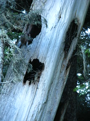 Scary 'ol tree (librarychik) Tags: tree face bc britishcolumbia oldtree sointula malcolmisland