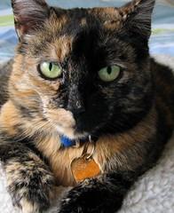 Wingnut (molly_eileen) Tags: cat tortoiseshell notmycat kissablekat