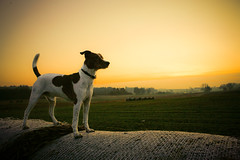 Enjoying the Sunrise (Voetmann) Tags: morning dog sun sunlight field sunrise golden glow earlymorning hay slagslunde bastian baleofhay dansksvenskgrdhund voetmann bures karmanominated