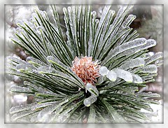 Winter Coat (dart5150) Tags: winter ice nature pine cupcakes scenic best icestorm ouryard soe picnik fineartphotos platinumphoto theperfectphotographer multimegashot welovealmostallofyou ifrozemylittlebuttofftogetthis ishotthisinmyrobeandbootswhichwouldvemadeagreatshotinitself