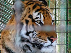 (BeHiNaZ) Tags: portrait animal zoo tiger