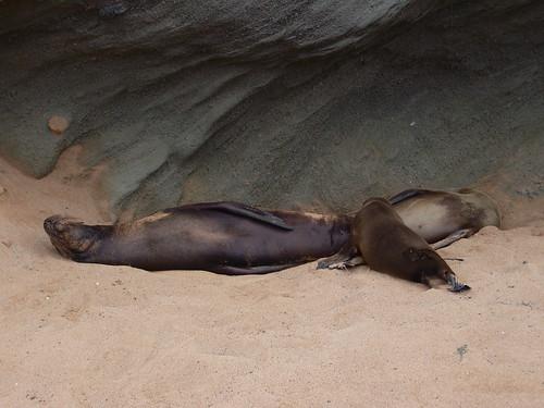 Sea Lions at Bartolome