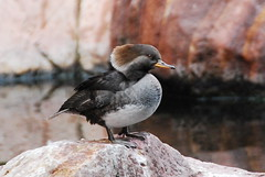 Hooded Merganser, Female (Ruthie Kansas) Tags: friends bird duck loveit merganser hoodedmerganser