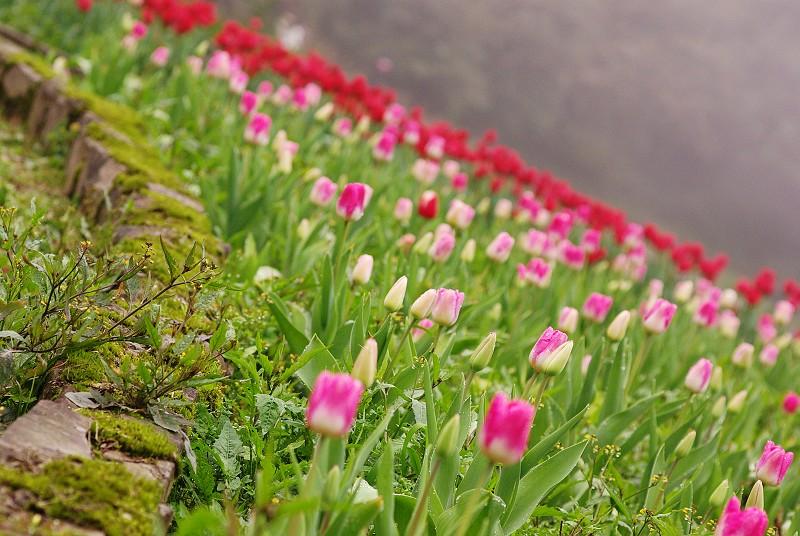 鬱金香花園1