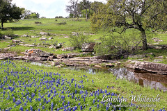 Bluebonnet Hillside