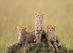 1. Shakira's Cubs (Lyndon Firman) Tags: searchthebest kenya bbc cheetah cubs shakira masaimara acinonyxjubatus specanimal bigcatdiary impressedbeauty bfgreatesthits