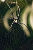 creepy spidey (M3R) Tags: animal indonesia spider scary web creepy westjava kebunrayabogor canonef70200mmf4lisusm pfosilver